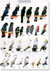 Cockatoos Poster