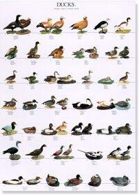 Ducks Poster #2
