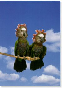 Hawk Headed Parrots Pair Poster