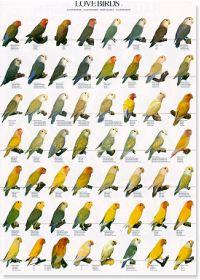 Lovebirds Poster #1