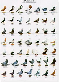 Pigeons Poster #1