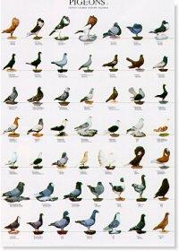 Pigeons Poster #1