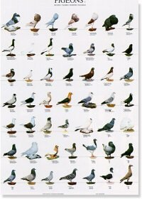 Pigeons Poster #2