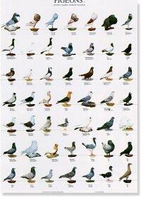 Pigeons Poster #2